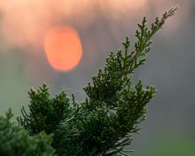 Sunset and cedar, detail