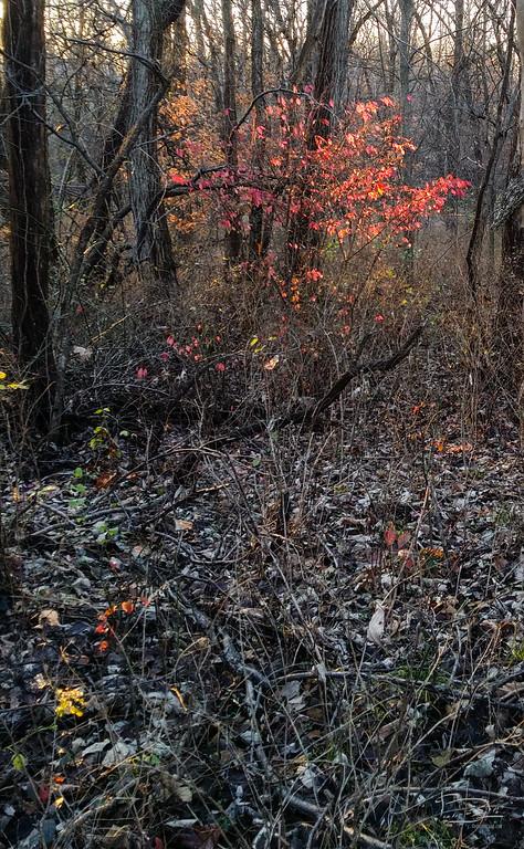 Firebush in the golden hour