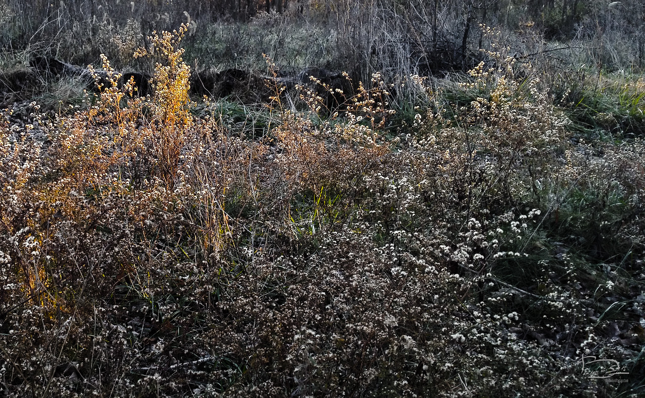 The cell phone lens doesn't quite capture the straight lines of the beam of sunlight my eyes saw, but it does pick up on the light difference where the golden light falls on these now dried out plants standing in this field.