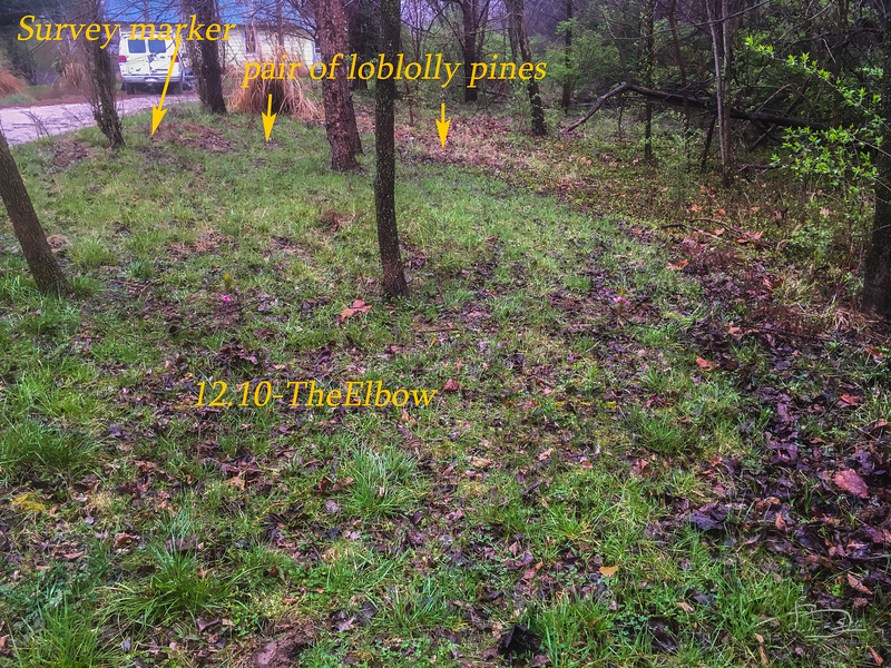 """Two loblolly pines close to south boundary line of """"the elbow"""" that borders the east neighbour."""