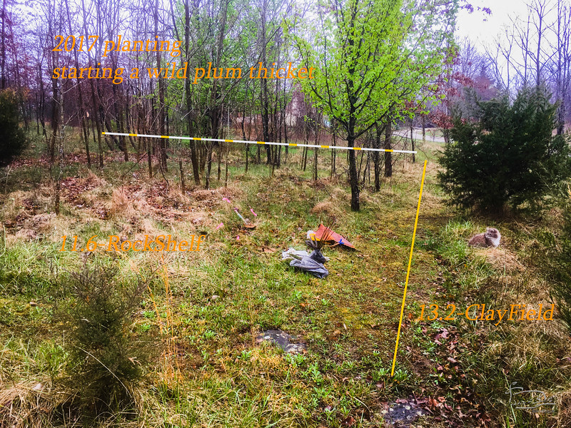 Put in 4 wild plum here.    The callery pear appears to have survived the girdling I attempted.  Though perhaps it will have eliminated fruiting.  It did bloom, but not a vigorously as in previous years.  The two dark spots in the foreground are two of the very few exposed rocks on the property.  To the right is mostly junipers, the right is more of a mix of mostly persimmons with a few others also.