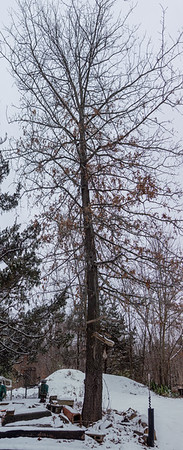tree portrait-00005-DSC02128-Pano