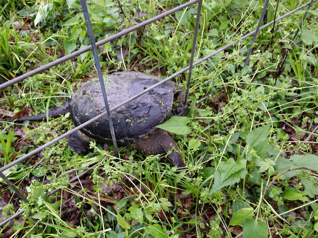 Snapping turtle having difficulties getting through the fence.