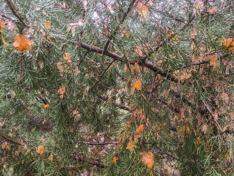 Several of the junipers have these growing on them