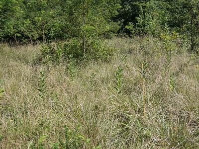 Milkweed patch