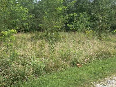 Plenty of milkweed, no sign of Monarchs.