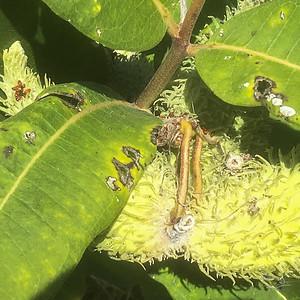 Dining on milkweed, crop
