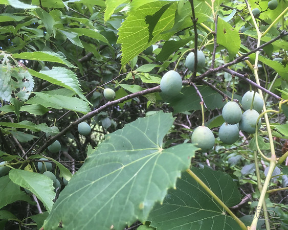 Wild plums looking good.