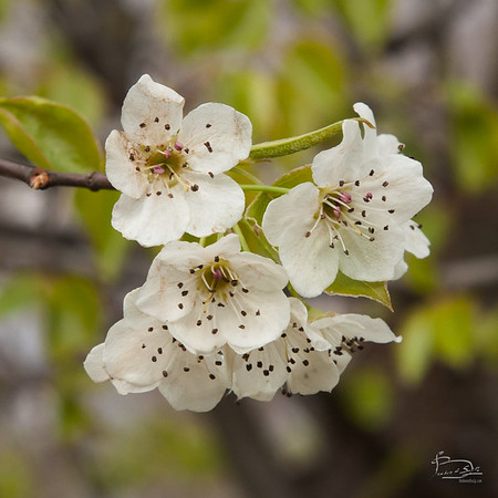 callery pear -- invasive
