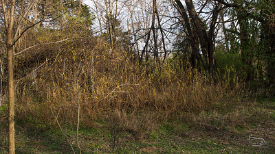Fragrant Sumac makes a thicket