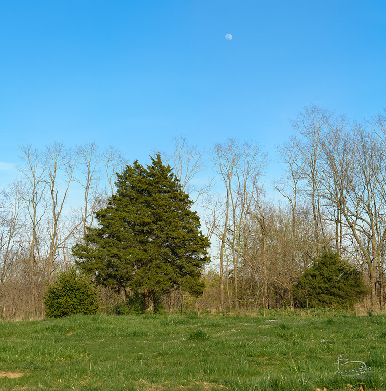 In 2006 the east woods and east field were kept more or less as mowed as the big field.  The row of leafless black locust in the back is the east border woods, including the small eastern red cedar to the right.  In front of the split cedar in the middle is a spruce that bushed out very nicely, but didn't make it much bigger than this and died a few years later.
