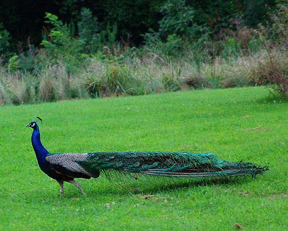 Peacock walking across the big field.