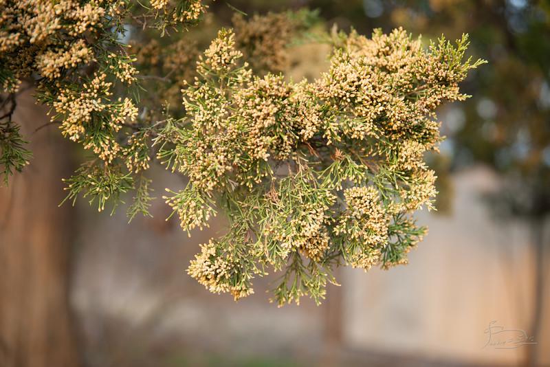 Juniper pollen
