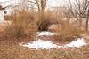 Forsythia thicket