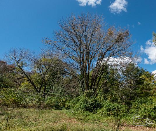 pari of big ash trees  DSC03003-Pano