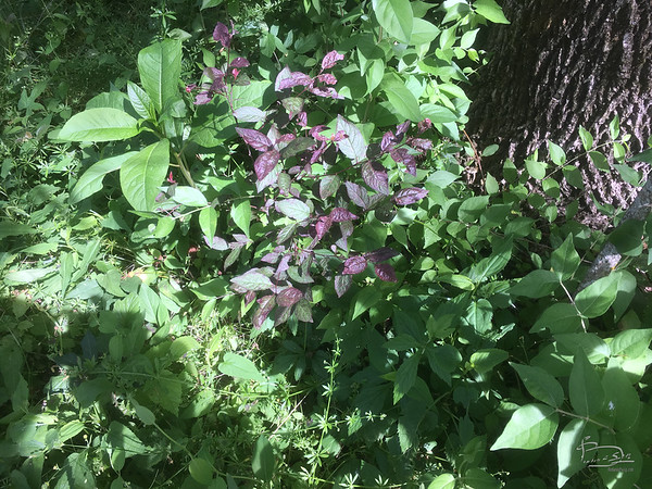 Not sure if these purple leaves are natural or not.
