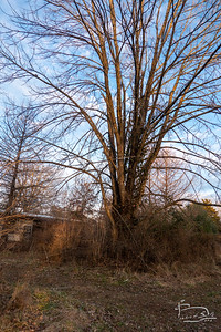 Dying Ash Tree