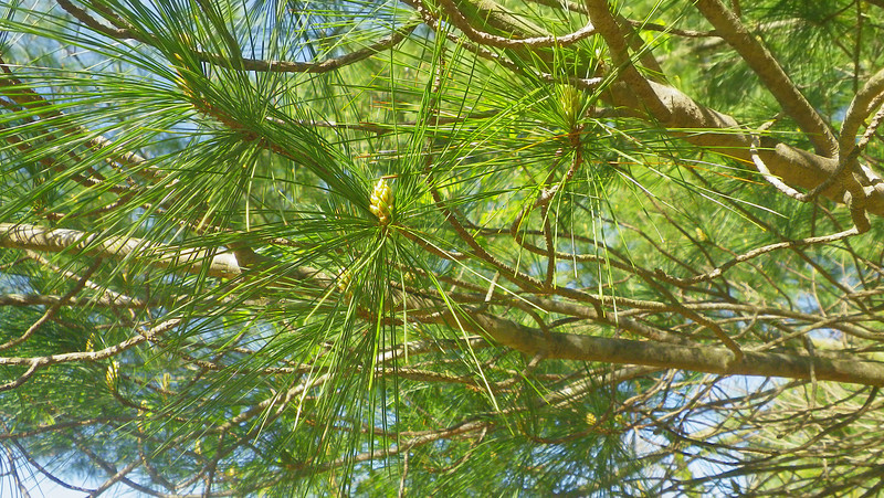 The Guardian Pine is a white pine.
