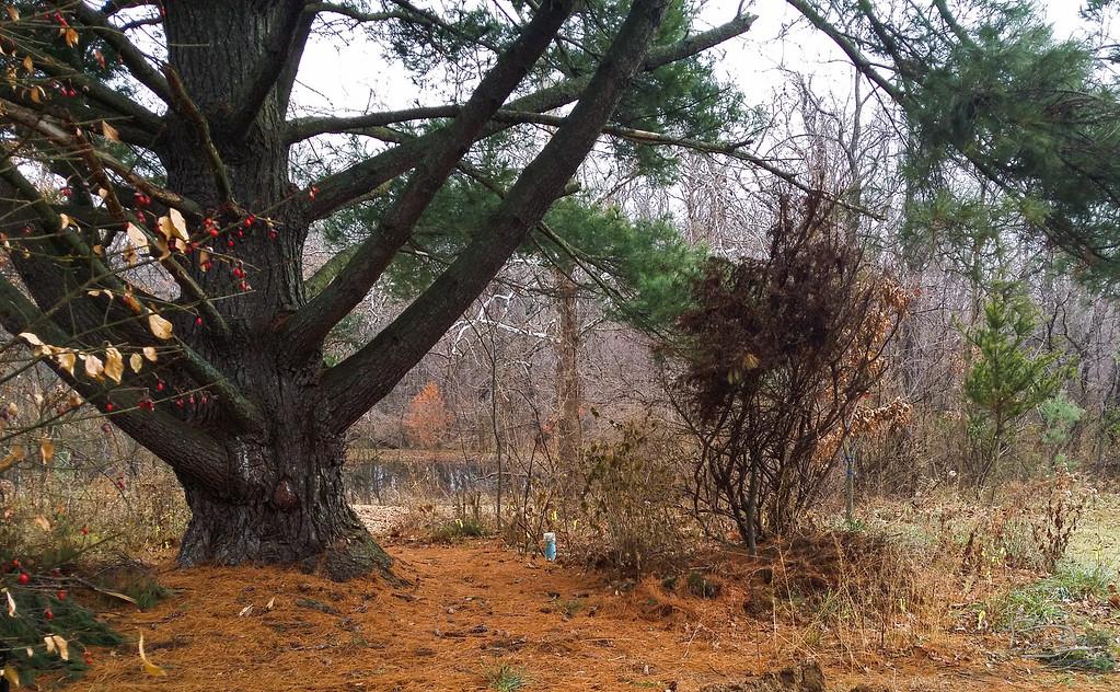 Guardian pine in early winter