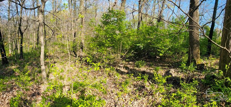 Bush honeysuckle grove near corner.