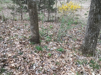 The out of focus greenery between the trees in front is gooseberry, several plants.  That yellow forsythia probably needs to come out.  Around these two trees are where I've found morels in the past.
