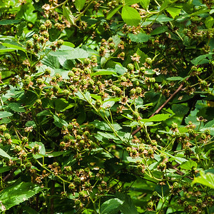 Lots of blackberries coming along by the upper pond.