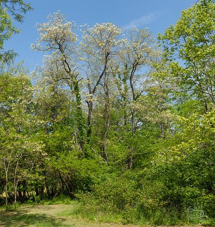 Black Locust in Bloom, upper pond Black locust in bloom
