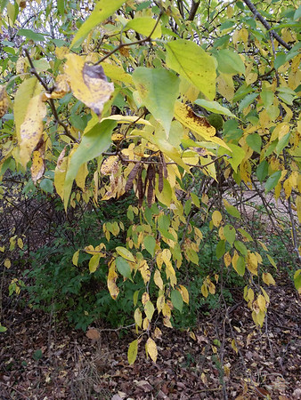 "In this image, it looks like a branch with seed pods hanging off it.   The other images were to check on leaf shape, branching, thorns and so forth.   There's a big osage orange behind that has lots of ""oranges.""  This one in front doesn't have any yet, and I noticed seed pods in there.  I checked the leaves and branching and trunk bark -- but osage orange doesn't have seed pods.   Finally, it dawned on me, after realizing that the seed pods are the same size, shape and bundling as black locust that maybe a twig of those had fallen into the tree and landed on a branch so that it looked like it was part of the tree.  I went back and sure enough, that's what it was.  Now that I know what I'm looking at, it's easier to see that this is not part of this tree."