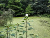 Good picture of the rose mallow.  Pond covered in ??
