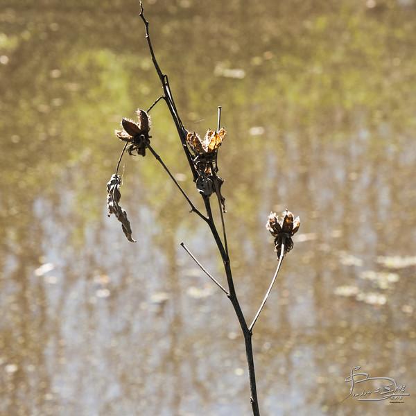 Rose Mallow stalk
