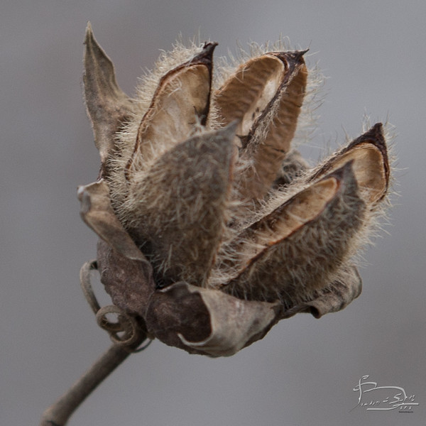 Hibiscus moscheutos, Rose Mallow