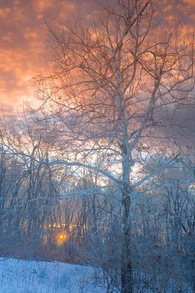 Winter sycamore