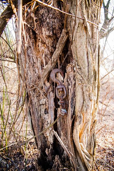 Iron hook in old cedar
