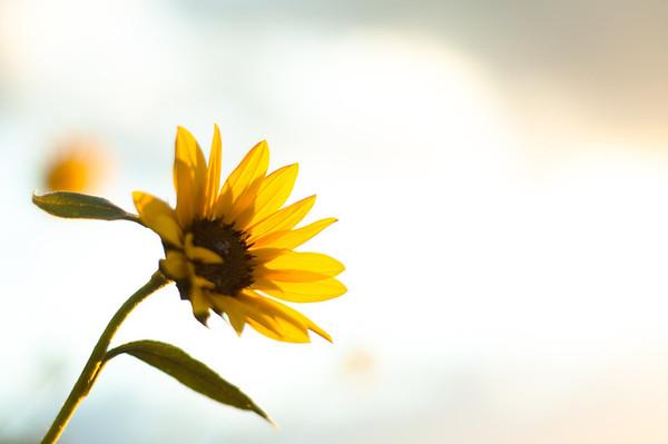 Sunflowers in my Backyard