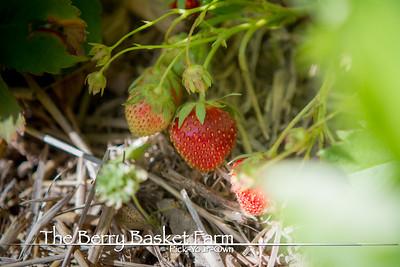 BerryBasket - 2018-06-03 IMG_6861