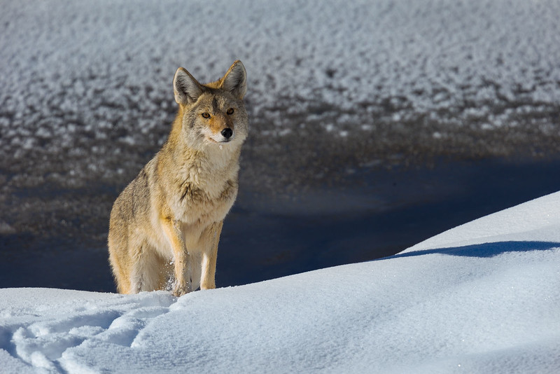 Coyote Along the Madison Valley
