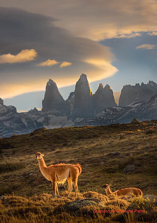 Guanacos at Torres del Paine