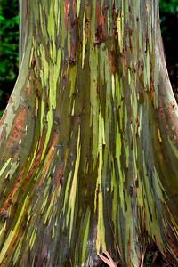 the texture of a Eucalyptus