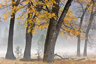 Black Oak Trees in the El Capitan Meadow