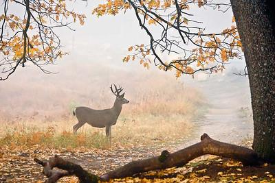 Mule Deer in The Cook Meadow