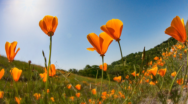 Poppies, Mt. Diablo, CA
