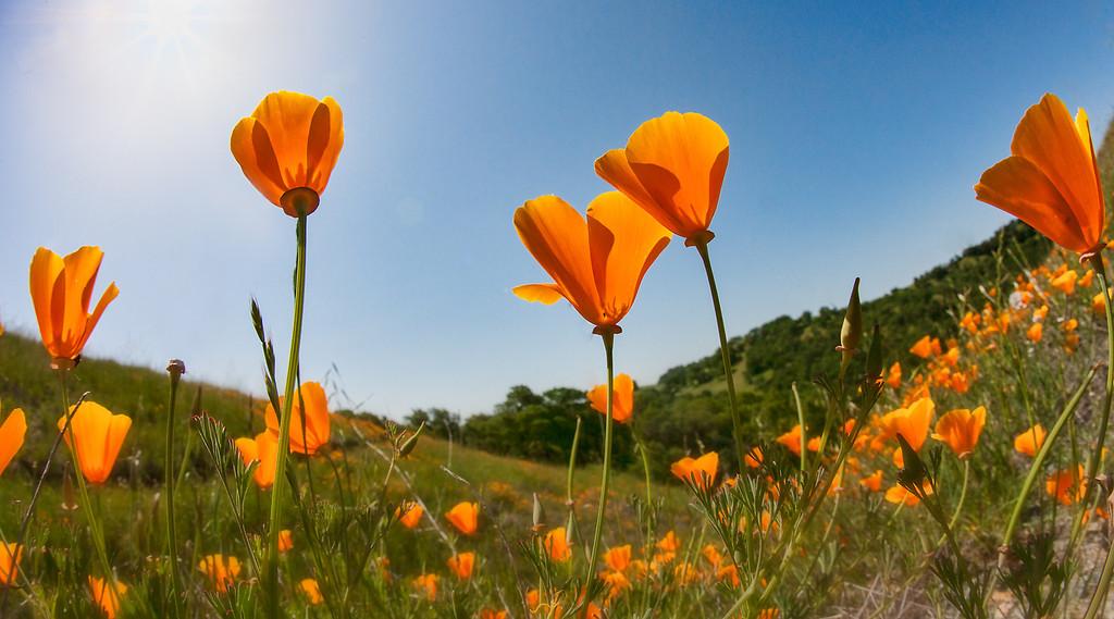 Poppies, Mt. Diablo, CA