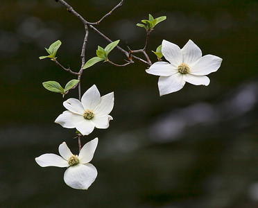 Dogwood Bloom, Yosemite NP