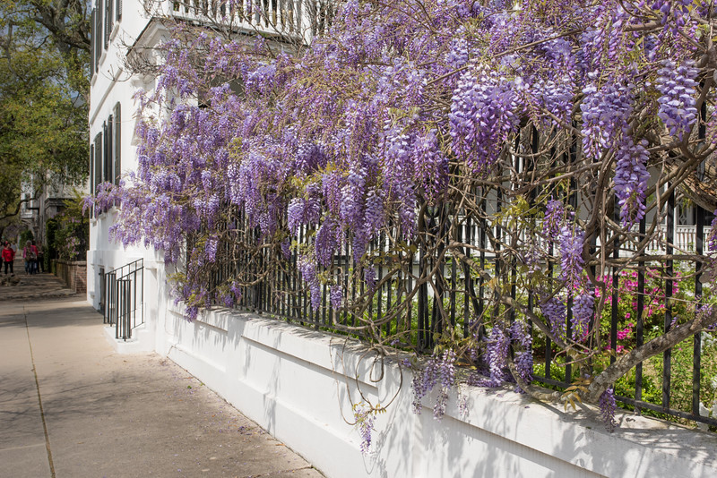 Wisteria on Meeting Street