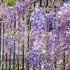 Wisteria on Meeting Street Wrought Iron fence