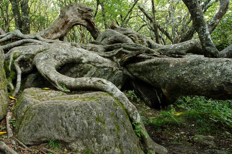 Fallen Birch Tree on the trail