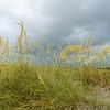 Flowering Sea Oats, Folly Beach County Park