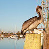 Pelican on the Sampit River Boardwalk, Georgetown, SC