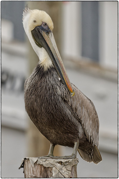Pelicans on the docks of the Georgetown Harbor Walk