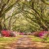 Avenue of Oaks and Azaleas, Hillsborough Plantation